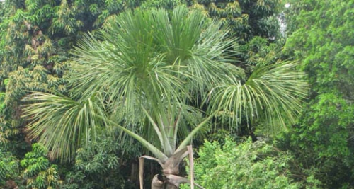 CIMA 2012. Sustainable Use of the Aguaje (palm tree)